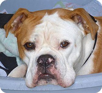 English Bulldog/Boxer Mix Dog for adoption in Carmel, New York - Clive