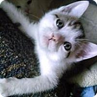 Adopt A Pet :: Peanut (bottle fed) - Sterling Hgts, MI