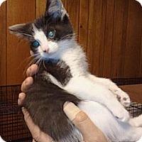 Adopt A Pet :: Bacon - Grand Rapids, MI