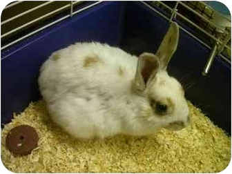 Domestic Shorthair Kitten for adoption in Saanichton, British Columbia - Buster (rabbit)