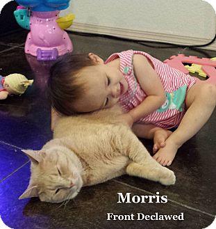 Domestic Shorthair Cat for adoption in Bentonville, Arkansas - Morris