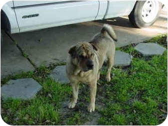 Shar Pei Dog for adoption in Houston, Texas - Dora