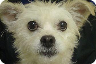 Westie, West Highland White Terrier Mix Dog for adoption in Philadelphia, Pennsylvania - Sunny