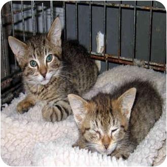 Domestic Shorthair Kitten for adoption in Ardsley, New York - Joaquin