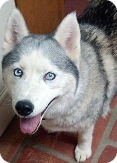 Siberian Husky Dog for adoption in Apache Junction, Arizona - MISHKA