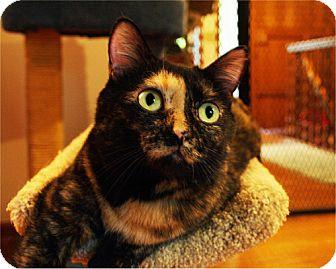 Domestic Shorthair Cat for adoption in Parkville, Missouri - Celia