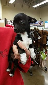 Chihuahua Puppy for adoption in Fresno, California - Jack