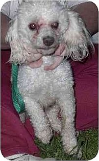 Poodle (Miniature) Dog for adoption in Downey, California - Frankie
