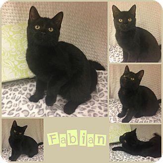 Domestic Shorthair Cat for adoption in Joliet, Illinois - Fabian