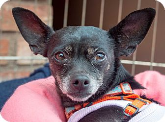 Chihuahua Mix Dog for adoption in San Marcos, California - Roxanne