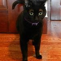 Domestic Shorthair Cat for adoption in Pt. Richmond, California - LILY