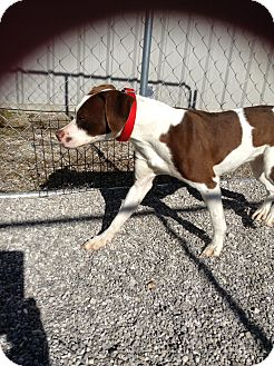 German Shorthaired Pointer Mix Puppy for adoption in Lebanon, Missouri - Thelma