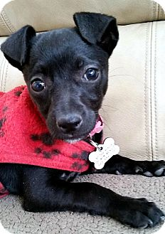 Chihuahua Mix Puppy for adoption in Tijeras, New Mexico - Lil' Bit
