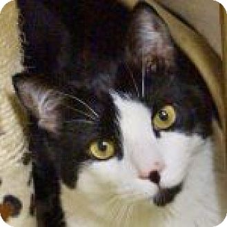 Domestic Shorthair Cat for adoption in Medford, Massachusetts - Dairy & Jersey