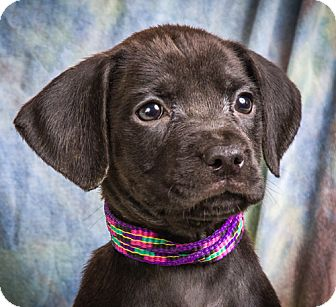 Labrador Retriever/Boxer Mix Puppy for adoption in Anna, Illinois - HALEY