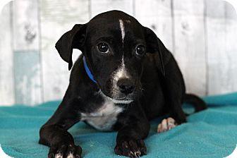 Terrier (Unknown Type, Medium) Mix Puppy for adoption in Waldorf, Maryland - Gerald
