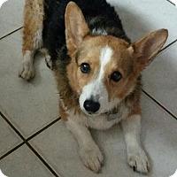 Adopt A Pet :: Annabelle - Pinellas Park, FL