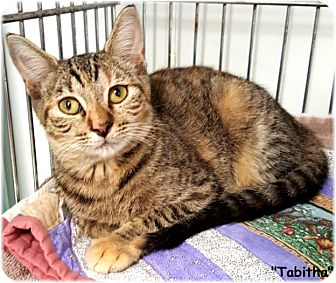 Domestic Shorthair Cat for adoption in Key Largo, Florida - Tabitha