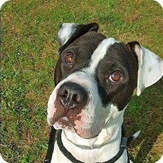 American Bulldog Mix Dog for adoption in Columbus, Ohio - Champ
