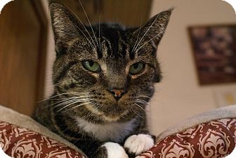 Domestic Shorthair Cat for adoption in Austintown, Ohio - Sarah