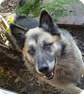 German Shepherd Dog/Alaskan Malamute Mix Dog for adoption in Porter Ranch, California - Sam Elliott