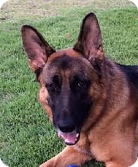 German Shepherd Dog Dog for adoption in Dripping Springs, Texas - Max-Referral