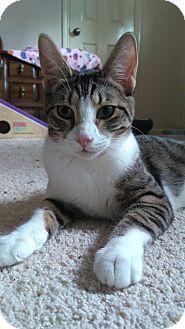 Domestic Shorthair Cat for adoption in Houston, Texas - Alexa