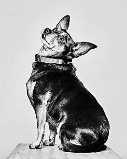 Miniature Pinscher Mix Dog for adoption in Van Nuys, California - Gertie
