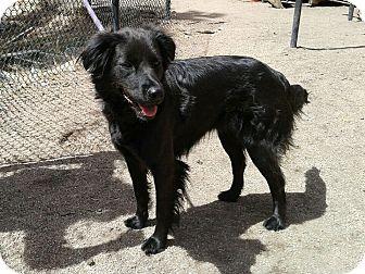 Flat-Coated Retriever/Irish Setter Mix Dog for adoption in Colorado Springs, Colorado - Cassie