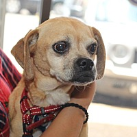 Pug/Beagle Mix Dog for adoption in Austin, Texas - Josie