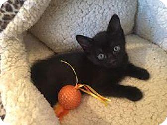 Domestic Mediumhair Kitten for adoption in Mansfield, Texas - Luke Skywhiskers
