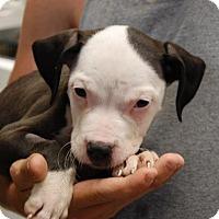 Adopt A Pet :: Penny - Brooklyn, NY