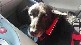 Labrador Retriever/German Shepherd Dog Mix Dog for adoption in Powell, Ohio - Helen