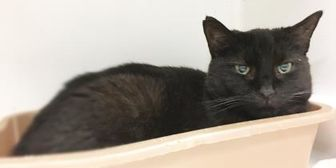 Domestic Shorthair/Domestic Shorthair Mix Cat for adoption in Twinsburg, Ohio - Lizzy