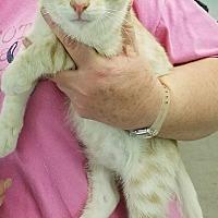 Adopt A Pet :: Truman Catpote - Fairbury, NE