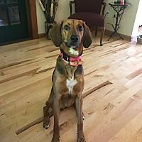 Adopt A Pet :: Brandy - cicero, NY
