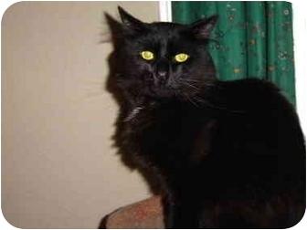 Domestic Mediumhair Cat for adoption in Victoria, British Columbia - Marbles