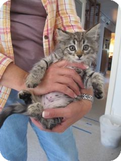 Maine Coon Kitten for adoption in Davis, California - Puddy Tat