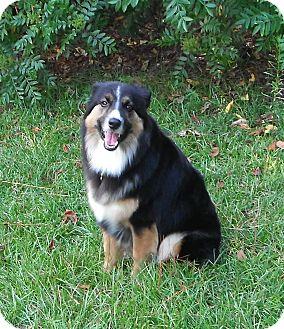 Australian Shepherd Dog for adoption in Columbia, South Carolina - Molly