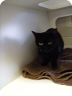 Bombay Cat for adoption in Bentonville, Arkansas - Budah