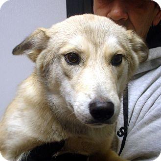 Husky Mix Dog for adoption in Manassas, Virginia - Coyote