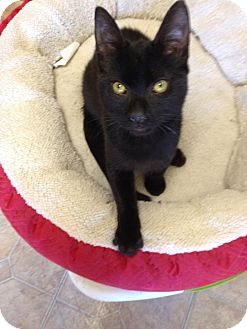 Domestic Shorthair Cat for adoption in Mobile, Alabama - Amos