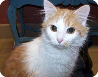 Domestic Longhair Cat for adoption in Jackson, Michigan - Cassandra