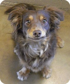 Dachshund Mix Dog for adoption in Wickenburg, Arizona - Katie