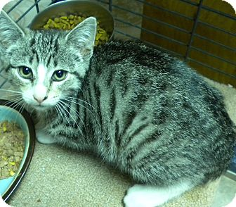 Domestic Shorthair Kitten for adoption in Forest Hills, New York - Orchid