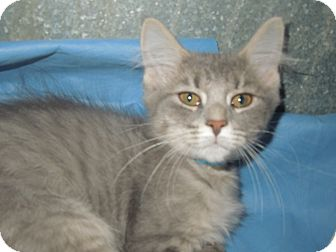 Domestic Mediumhair Cat for adoption in Medina, Ohio - Jellybean