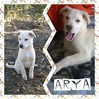 Adopt A Pet :: Arya - Greeley, CO