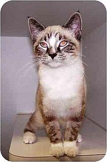 Siamese Kitten for adoption in Old Fort, North Carolina - Sammie