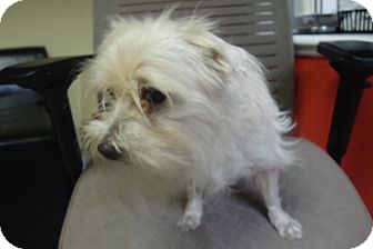 Maltese Mix Dog for adoption in Philadelphia, Pennsylvania - Buddy