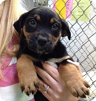 Labrador Retriever Mix Puppy for adoption in Greensburg, Pennsylvania - Darla